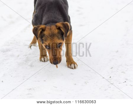 Stray dog is ready to defend its found on the ground food - crust