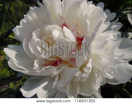 Luxurious white peony bloomed