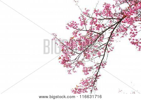 Wild Himalayan Cherry Spring Blossom