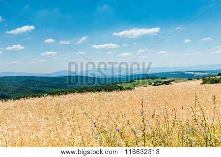 Yellow ripe wheat against blue sky