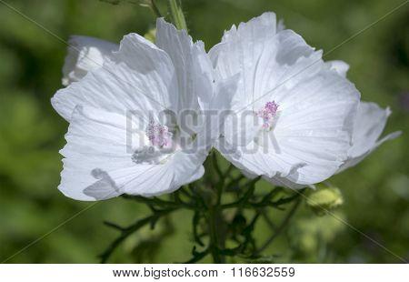 Musk mallow flower