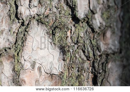 The Bark Of A Pine Tree Covered With Moss As Background