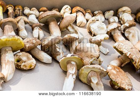 Mushroom Boletus Detail