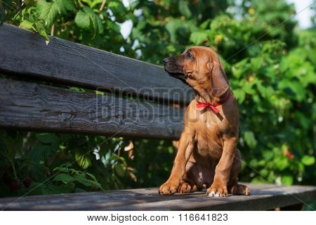 adorable red puppy outdoors in summer