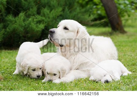 golden retriever dog and puppies