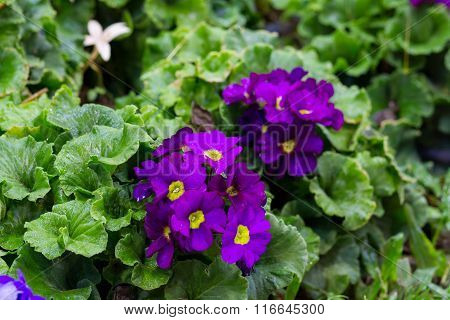 Violet gloxinia in brown pot on the border