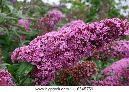 Buddleia flower