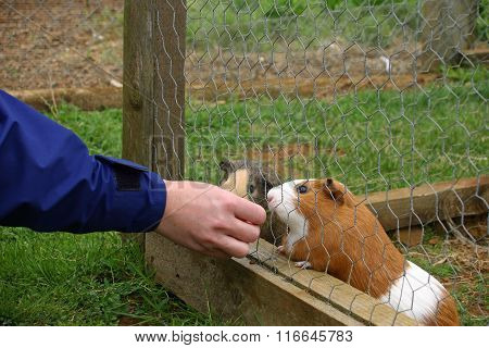 Guinea pigs being fed in cage