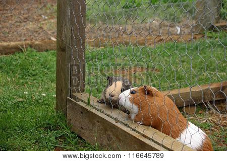 Guinea pigs in cage