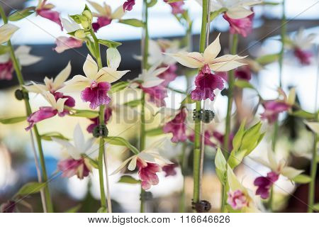 Beautiful pink and white orchids flower tree.