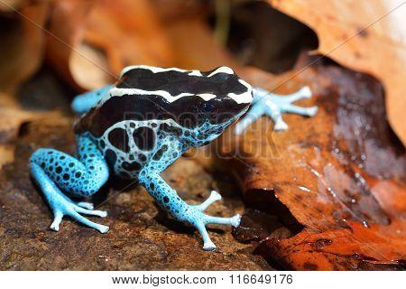 Blue Dart Frog Dendrobates Tinctorius, Form
