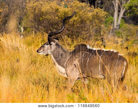 Male kudu buck