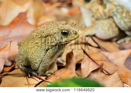 African Common Toad Amietophrynus Gutturalis
