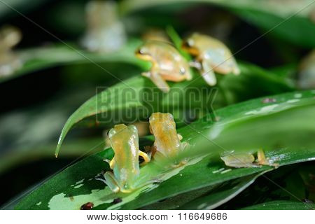 Young Chinese Flying Frog Rhacophorus Dennysii After Metamorphose
