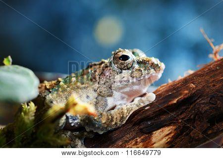 Serrate-legged Small Treefrog Kurixalus Odontotarsus In Terrarium