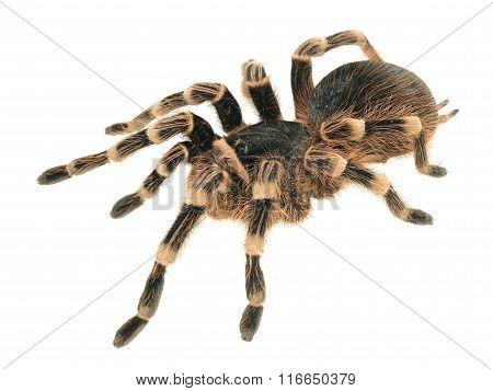 Giant Tarantula Acanthoscurria Geniculata Isolated