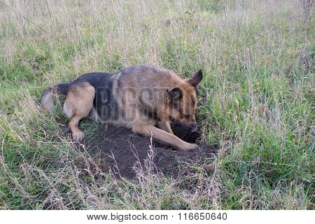 Shepherd lying in a hole