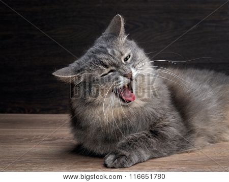 Portrait of funny cat yawning