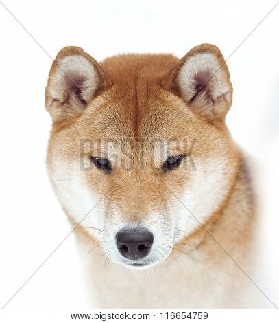 Shiba Inu Face Closeup On White Background