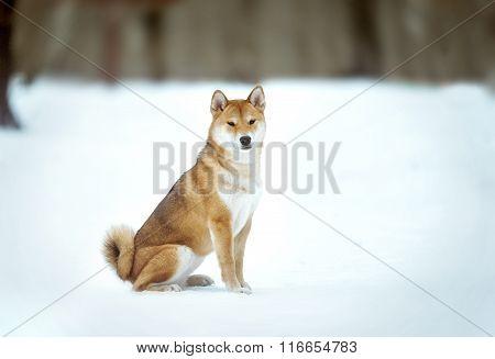 Japanese Shiba Inu Dog Portrait On Snow Background