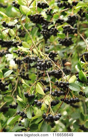Black Rowan Fruits