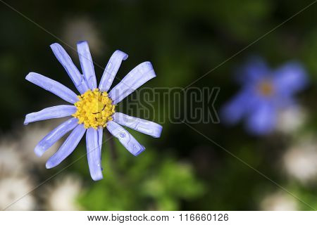 Macro Of A Small Blue Flower With Green Background