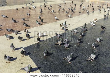 A Flock Of Pigeons Standing In A Public Square Ground And Waiting To Be Fed.