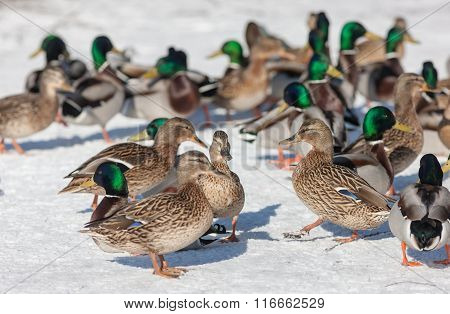 Ducks On The Snow