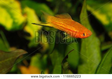 Swordtail (xiphophorus Hellerii)