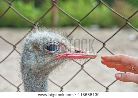 Woman hand and ostrich in sunny day