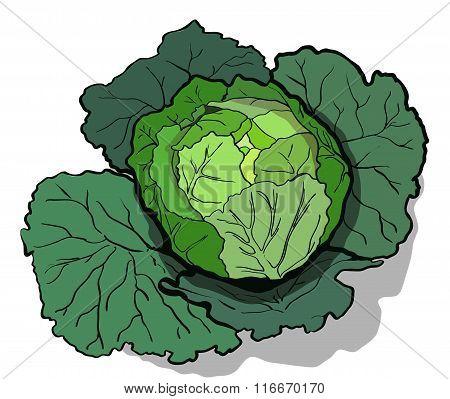 Cabbage  illustration.