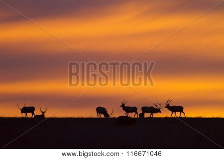 elk silhouette with Kansas sunrise