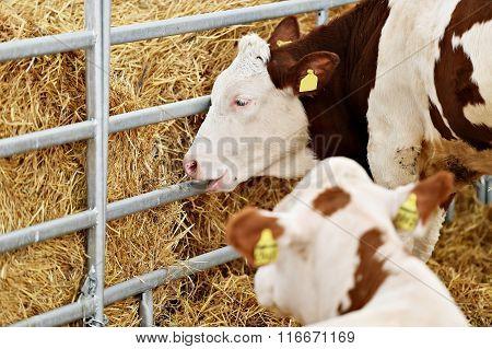Cows Inside A Farm