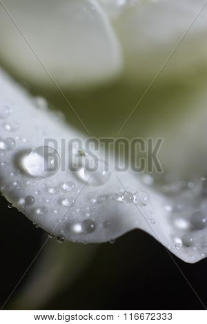 Drops Of Water On White Petal Roses