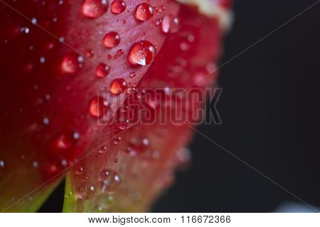 Drops Of Water On A Red Tulip Petal.