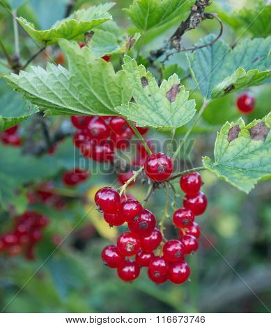 Bunch of red currant on a branch