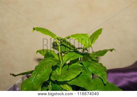 Arabica Coffee Plant Close-up
