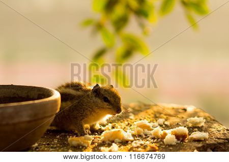 squirrel eating bread crumbs near clay pot