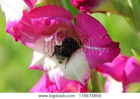 Huge black bumblebee in white and fuchsia gladiolus