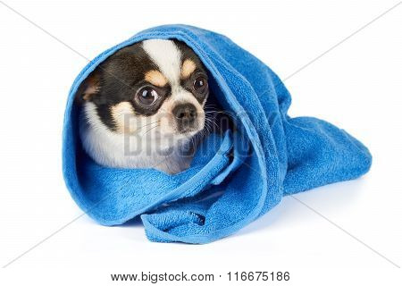 Chihuahua In Blue Towel