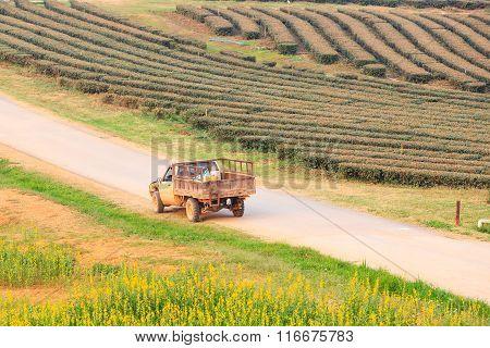 Green Tea Field Plantation In Thailand