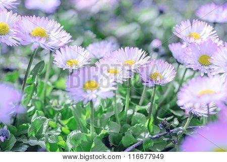 Beautiful daisy flowers in meadow