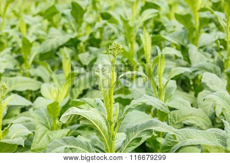 Tobacco Plant In Thailand