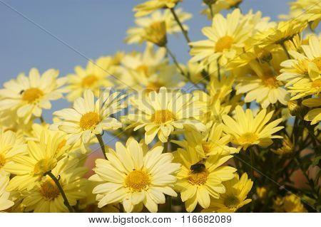 Chrysanthemum in the garden