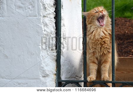 A cat with opened mouth