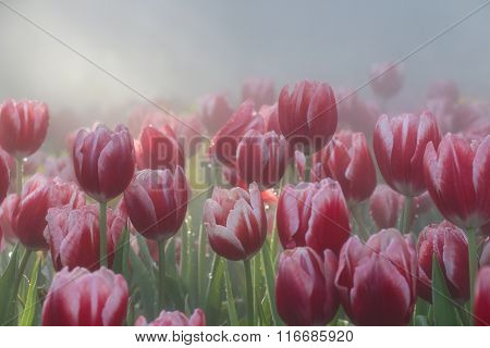 Red Tulip Flowers Field In Morning Mist