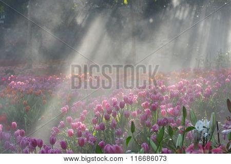 Tulip Flowers Field In Morning Mist