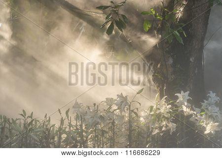 Lilly Flowers Field In Morning Mist