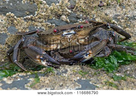 Velvet Swimming Crab (Necora Puber)
