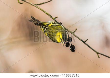 Common Siskin (carduelis Spinus)